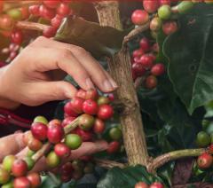UCC咖啡农园